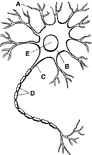 Neuron diagram test library of wiring diagram a p test rh gcate org neuron diagram labeled neuron diagram unlabeled ccuart Choice Image